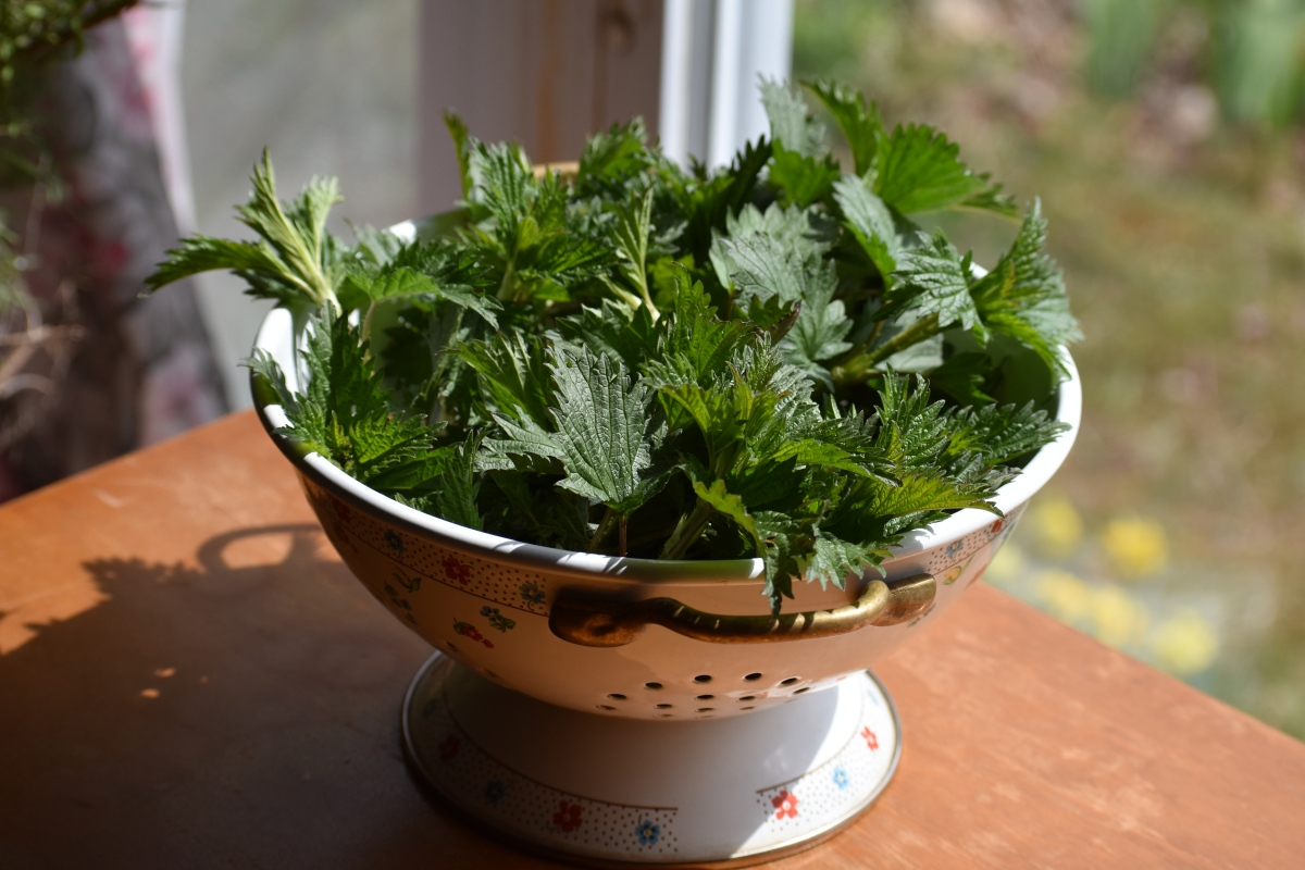 Nettles: A Delicious Spring Treat